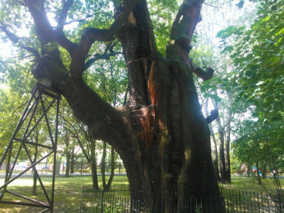 Oldest tree in Warsaw